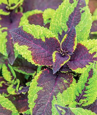 Coleus, Pineapple Surprise, , large